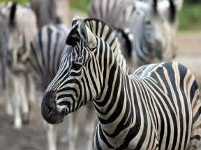 cool zebra pictures colorful zebra pictures baby zebra pictures