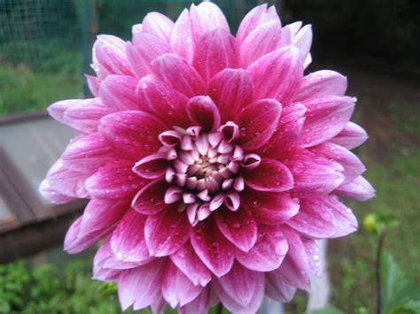 pink dahlias jpeg pink dahlia digital