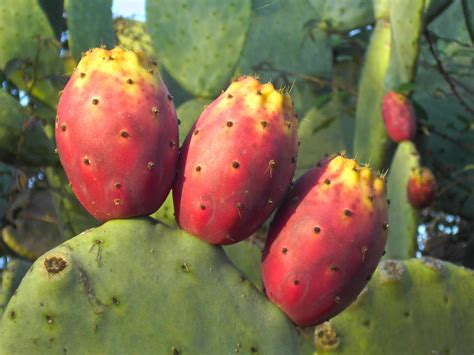cactus fruit by tarquille on deviantart