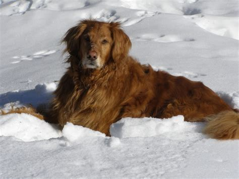 golden retriever age progression pictures tripawds 187 donate blood sles for morris animla foundation golden retriever study