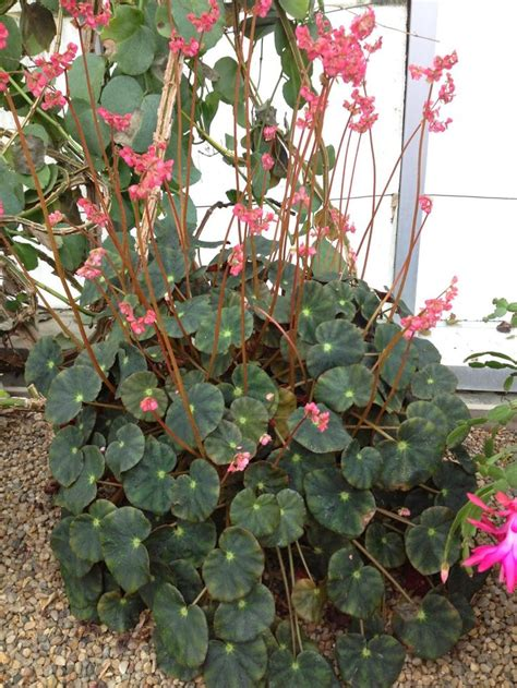 1151 best images about begonias on pinterest herons shrubs and compact