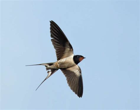 barn swallow in flight olympus uk e system user group