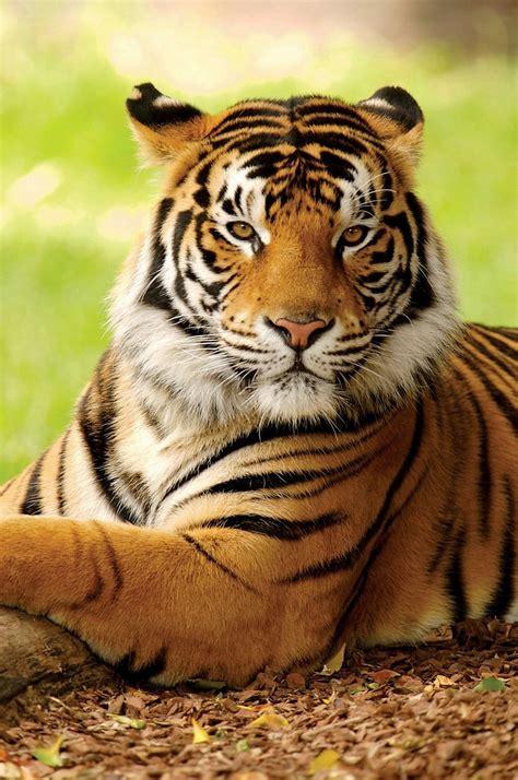 beautiful tiger big cats images beautiful tiger hd wallpaper and