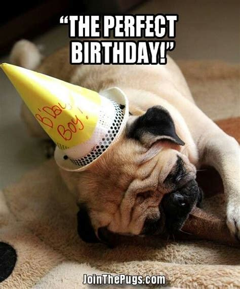 Birthday Pug Meme - birthday pug izzy s pins pinterest
