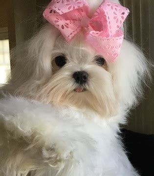 maltese puppies for sale in indiana view ad maltese puppy for sale indiana schererville usa
