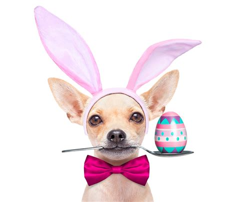 easter breaks with dogs fotos ostern chihuahua hunde ei l 246 ffel schleife tiere