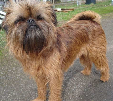 Brussels Griffon Shed by Breeds Hypoallergenic Picture Breeds Picture