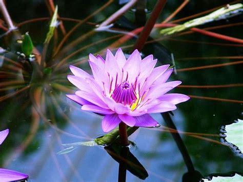 17 ide tentang bunga teratai di lotus dan hindu