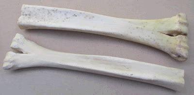 English Handmade Knives Camel Bone Leg Sections HH-CBLS