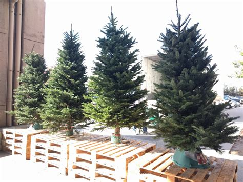 fresh cut tabletop tree costco fresh cut trees 2017 beatiful tree