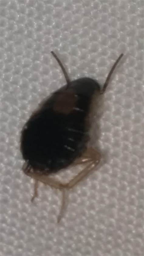 airbnb bed bugs bug id possible bed bugs a cockroach nymph carpet