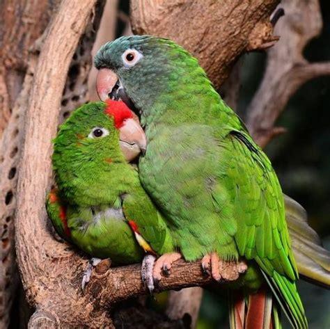alimentazione pappagalli come allevare i pappagalli inseparabili