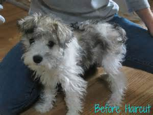 schnauzer hair cut step by step schnauzer hair styles 17 best images about haircut