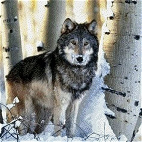 alaskan wolf alaskan wolves gallery