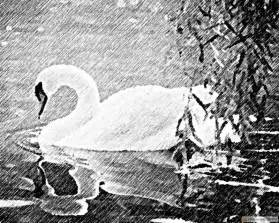 related pictures to pencil drawing of a beautiful swan