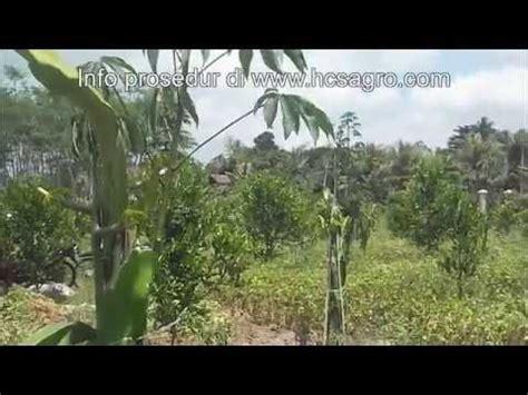 Bibit Jahe Merah Kaltim cara budidaya tanaman dengan pola hcs doovi