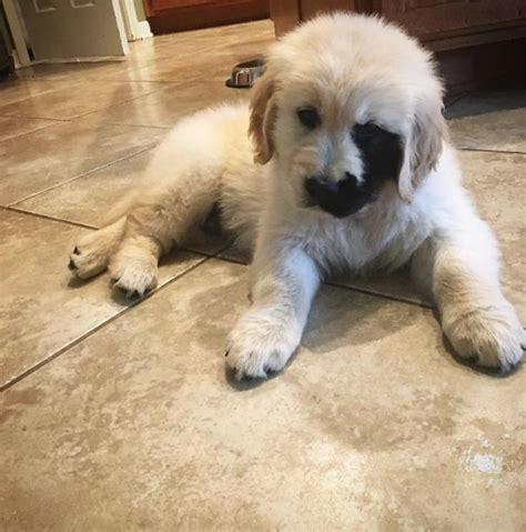 Enzo El Cachorro De Golden Con Una Mancha Negra Que Cubre