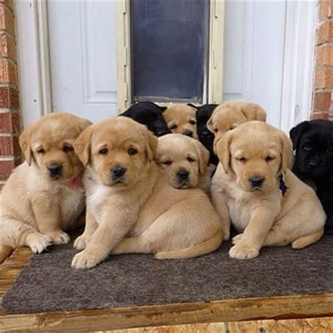how many puppies can a lab labrador retriever breed