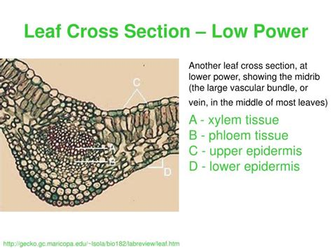 ligustrum leaf cross section ppt leaf cross section low power powerpoint