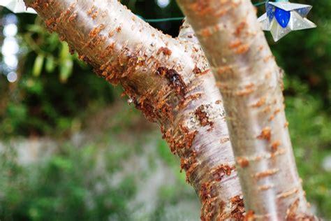cherry tree worms cherry tree pests