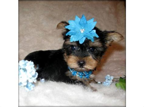 teacup yorkie adoption nyc pets brighton ny free classified ads