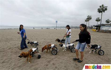 Kursi Roda Anjing foto bermain bersama anjing berkaki roda di pantai peru
