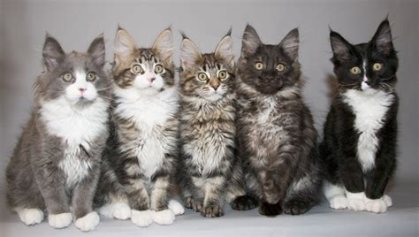 Maine Coon Cat Breed | biggest breed of cat cats types