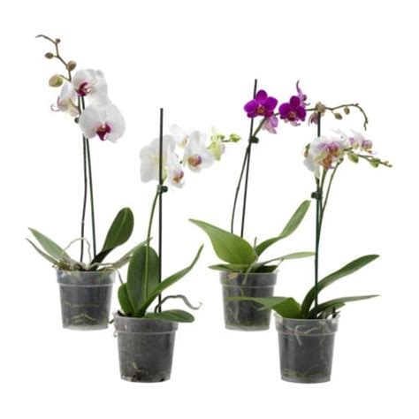 Orchid Plant by Phalaenopsis Potted Plant Ikea