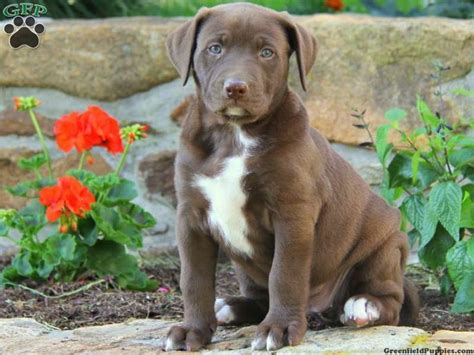 lab mix puppies for sale in pa american bulldog lab mix labrador mix puppies for sale in pa dogs