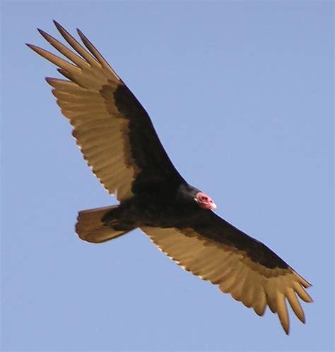 turkey vulture buzzard animals the birds pinterest