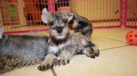 miniature schnauzer puppies for sale in ga cuddly salt pepper miniature schnauzer puppies for sale in atlanta at puppies for