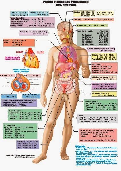 interior del cuerpo humano organos anatom 237 a humana cuerpo humano anatom 237 a humana