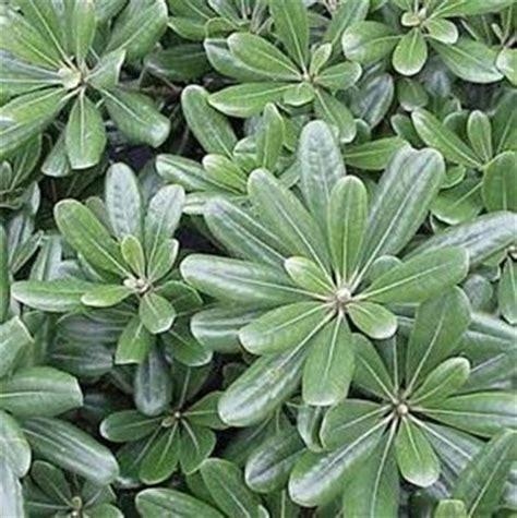 vivai piante da giardino pittosporo piante da giardino