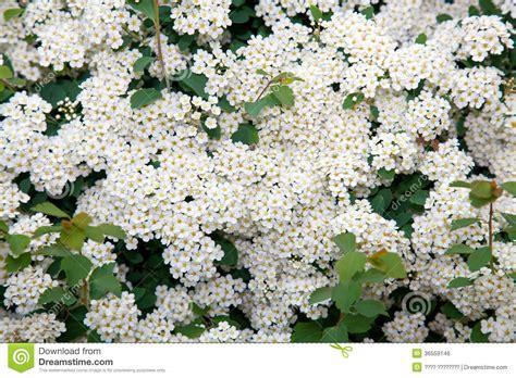 fiori bianchi piccoli fiori piccoli bianchi idee di design per la casa
