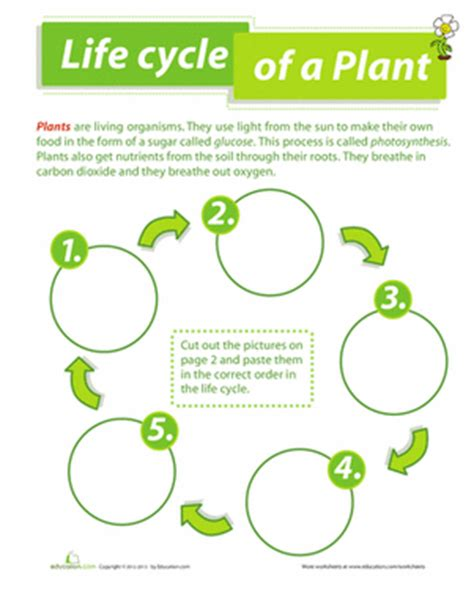 cycle of plants and animals worksheets cycle of a plant worksheet education