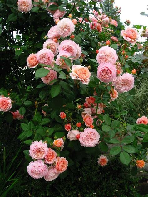 a shropshire lad david austin roses planted it today garden pinterest david austin