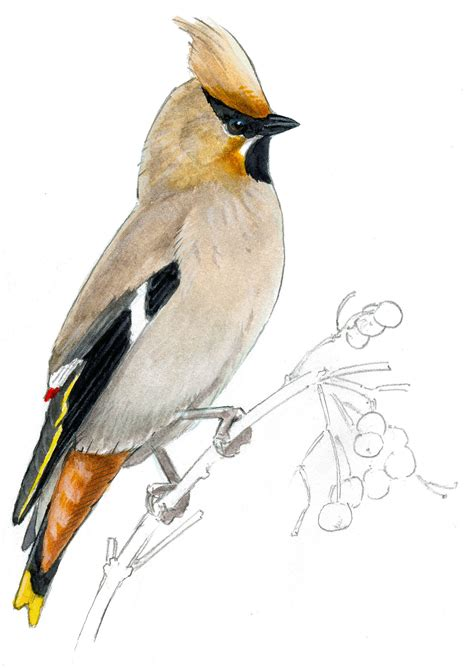 bird art drawing birds how to draw a bird audubon