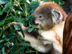 koala una especie la aventura de la naturaleza