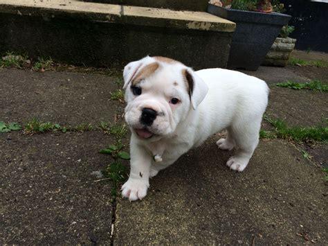 bulldog puppies cost bulldog cost