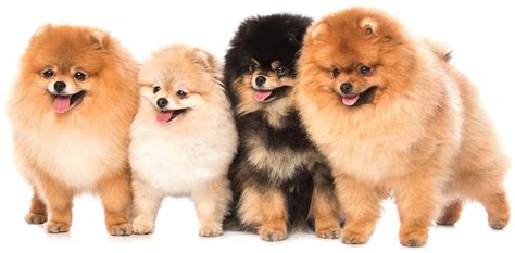 pomeranian like a teddy teddy breeds the pups that look like cuddly toys