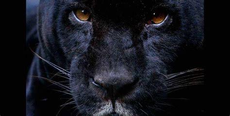 imagenes de un jaguar negro el jaguar negro tiene una alta producci 243 n de melanina por