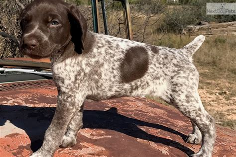 german shorthaired pointer puppies for sale oregon german shorthair pointer pups for sale great bloodlines breeds picture