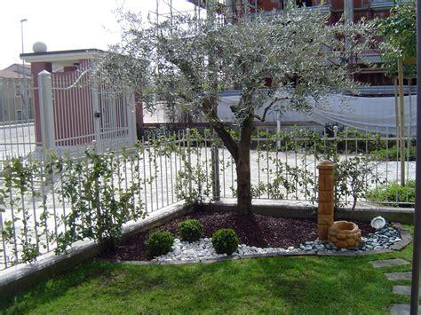 giardino con ulivo foto aiuola con olivo siepe e tappeto erboso di decorex