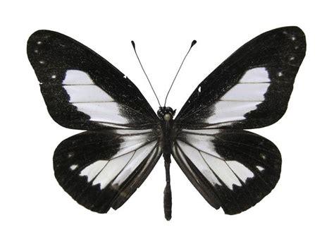 imagenes en blanco y negro de mariposas mariposas en blanco y negro imagui