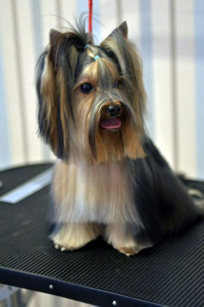 teddy haircut for yorkies search results for yorkie teddy haircut pictures black hairstyle and
