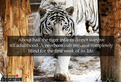 facts about the new year tiger tiger was named the national animal on this day 10