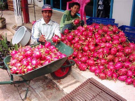 Teh Buah Naga budidaya buah naga disini tempatnya blognyamamirezel