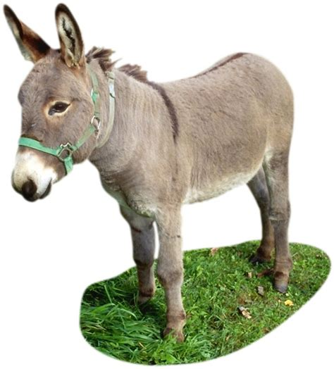 miracle of the century a baby donkey comes out of womb donkey the name donkey comes from the old english word