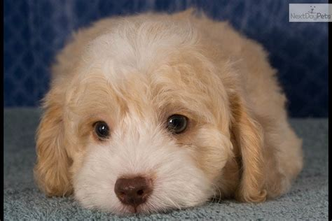 shihpoo puppies pin shih poo puppies for sale in stirling ontario pets on