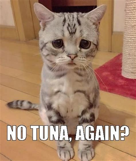 Sad Cat Memes - the sad cat meme he was offered an artichoke thus the sad look ccp kitty krazy